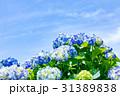 紫陽花 花 開花の写真 31389838