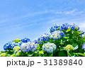 紫陽花 花 開花の写真 31389840