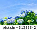紫陽花 花 開花の写真 31389842