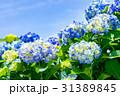 紫陽花 花 開花の写真 31389845