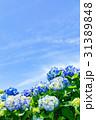 紫陽花 花 開花の写真 31389848