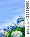紫陽花 花 開花の写真 31389850