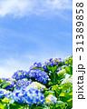 紫陽花 花 開花の写真 31389858