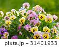 パンジー すみれ 花の写真 31401933
