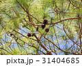 The pine cone 31404685