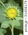 Bud sunflowers 31408179