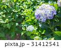 紫陽花 あじさい 花の写真 31412541