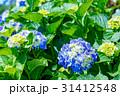 紫陽花 あじさい 花の写真 31412548