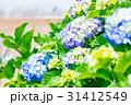 紫陽花 あじさい 花の写真 31412549