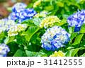 紫陽花 あじさい 花の写真 31412555
