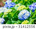 紫陽花 あじさい 花の写真 31412556