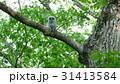 緑の森の大木の巣穴から可愛い顔を見せたエゾフクロウの赤ちゃん._3 31413584