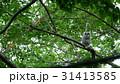 緑の森の大木の巣穴から可愛い顔を見せたエゾフクロウの赤ちゃん._4 31413585