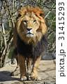 ライオン ポートレート 視線の写真 31415293