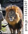 ライオン 野生動物 野生生物の写真 31415297