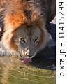 ライオン ポートレート 野生動物の写真 31415299