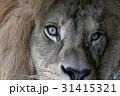 ライオン ポートレート 目の写真 31415321