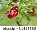 アメリカティゴ アメリカデイゴ 海紅豆の写真 31415586