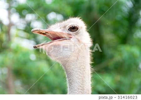 Ostrich head 31416023