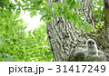 緑の森の大木の巣穴から可愛い顔を見せたエゾフクロウの赤ちゃん._2 31417249