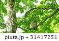 緑の森に住むエゾフクロウの成鳥 31417251