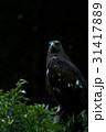 イヌワシ 鷲 猛禽類の写真 31417889