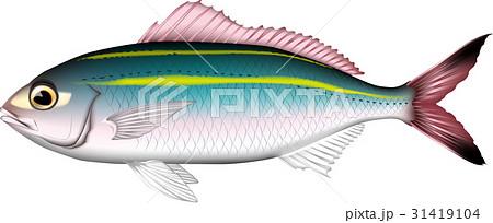 沖縄の魚グルクン(タカサゴ) 31419104