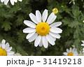 カンシロギク かんしろぎく 寒白菊の写真 31419218
