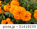 マリーゴールド 花 キク科の写真 31419230