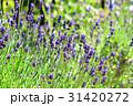 イングリッシュラベンダー ラベンダー 花の写真 31420272