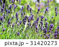 イングリッシュラベンダー ラベンダー 花の写真 31420273