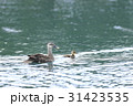 カルガモ 親子 野鳥の写真 31423535