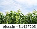 トウモロコシ畑 31427203