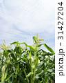 トウモロコシ畑 31427204