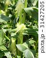 トウモロコシ畑 31427205
