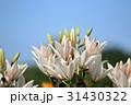 百合 花 スカシユリの写真 31430322