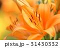 百合 花 スカシユリの写真 31430332