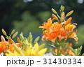 百合 花 スカシユリの写真 31430334