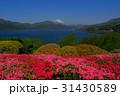 箱根から春の花と芦ノ湖富士山 31430589
