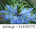 植物 ニゲラ 31439773