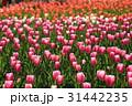 ちゅーりっぷ1917 31442235