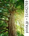 常緑樹 巨木 大木の写真 31442769