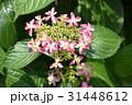 花 ガクアジサイ アジサイの写真 31448612