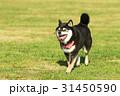 柴犬 犬 黒柴の写真 31450590