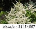 アスチルベの白い花 31454667