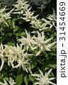 アスチルベの白い花 31454669