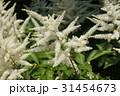 アスチルベの白い花 31454673