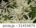 アスチルベの白い花 31454674