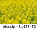 菜の花畑 31456452