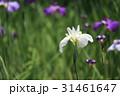 ショウブの花 31461647